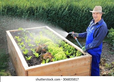 A Gardener pouring his Raised salad bed