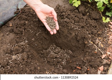 Gardener preparing ground for planting and adding chicken manure pellets to soil