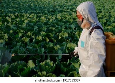 Gardener in a protective suit spray fertilizer on huge cabbage vegetable plant