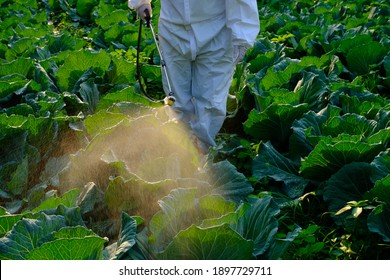 Gardener in a protective suit spray Insecticide and chemistry on cabbage vegetable plant
