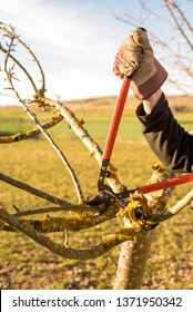 Gardener pruning apple tree branch in the orchard with a pruning scissors at the end of winter to improve fruit production