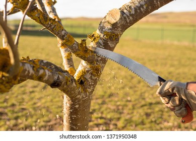 Gardener pruning apple tree branch in the orchard with a pruning curved saw at the end of winter to improve fruit production