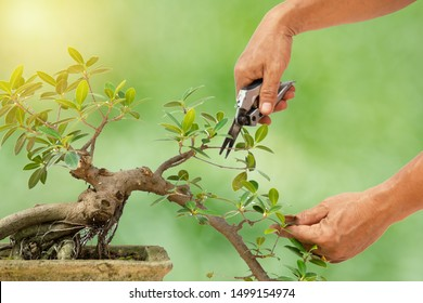 gardener pruning bonsai trees with pruning shears on bokehnature background on sunshine day.