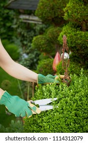 Gardener pruning an boxtree green privet topiary in a formal garden using a large pair of garden shears in a close up view of her gloved hands with copy space above