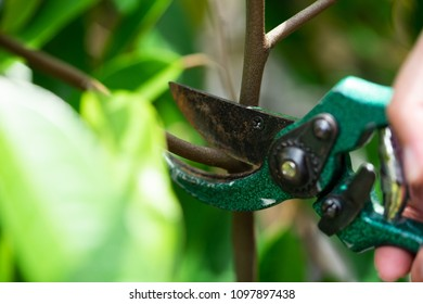 Gardener pruning durian trees with pruning shears on nature background.