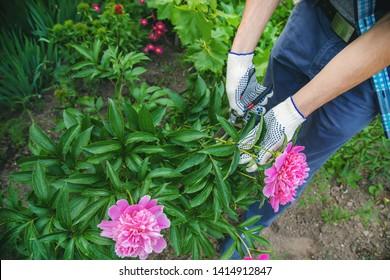 gardener pruning flowers peonies pruners. selective focus. nature