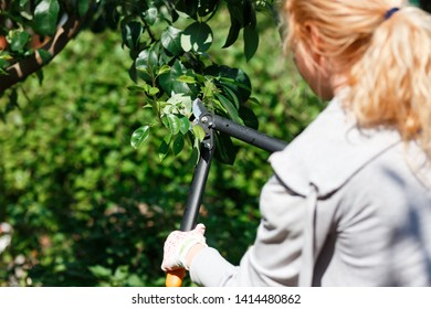 Gardener pruning fruit trees with pruning shears