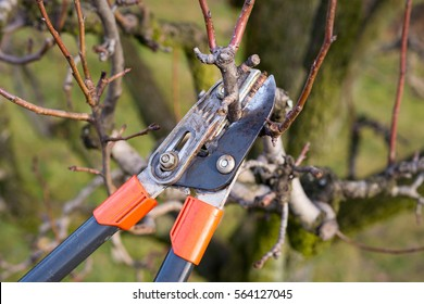 gardener pruning fruit trees with pruning shears