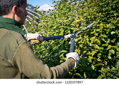 gardener pruning hedge with trimming shears