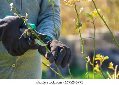 Gardener pruning rose bushes in spring. Spring pruning roses
