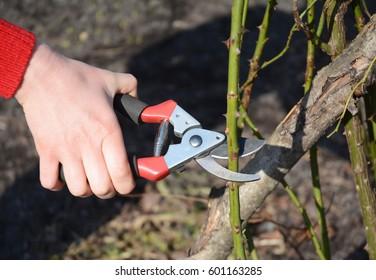 Gardener pruning Roses bush branch in the garden. Prune Climbing Roses. How to Prune Roses Bush.