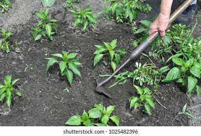 gardener pull up weeds with a hoe in the pepper plantation in the vegetable garden