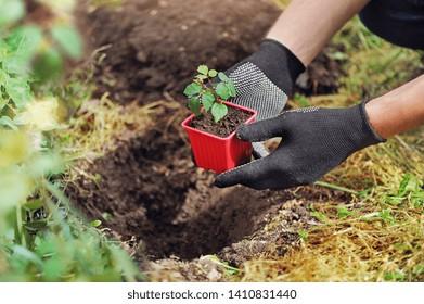 Gardener putting wild grape seedling in the ground at the garden