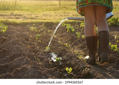 a gardener in rubber boots pours bean seedlings from a watering can at sunset. garden care