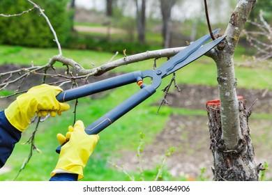 Gardener secateurs near apple tree