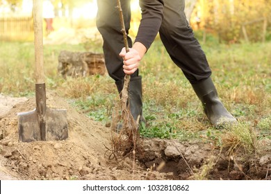 gardener sets young fruit tree seedling in the prepared hole in the area / spring garden work