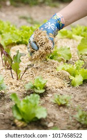 Gardener spreading a straw mulch around planted seedlings to fertilize and protect it from the drought. Natural living, organic eating, biodynamic, permaculture principles gardening.