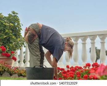 a gardener stands bent over a flowerbed and sorts out the withered leaves of a geranium bed.