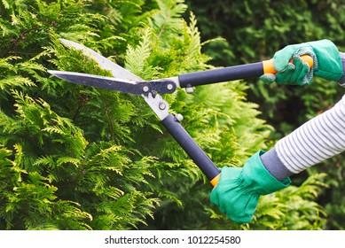 Gardener is trimming a hedge. Cutting the hedge with garden shears. Gardening in backyard.