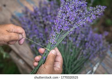 gardener tying lavender in bunches