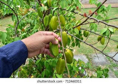 gardener used hand to harvest fruits.