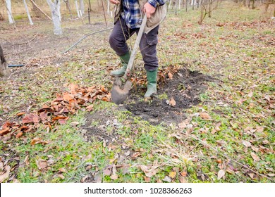 Gardener is using shovel to planting young fruit tree with roots to multiply minor plants in his orchard.