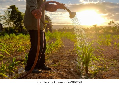 A gardener is watering her organic corn field in the evening sunset.