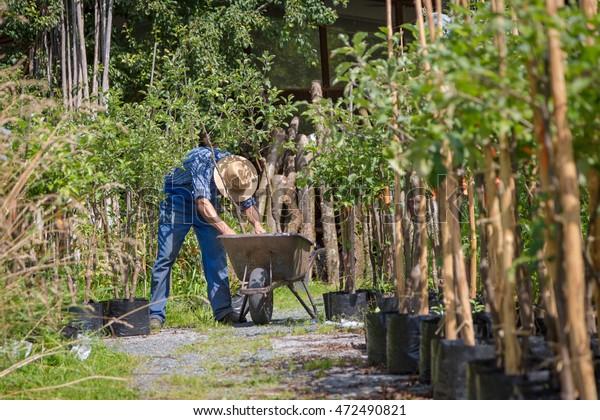 Gardener with a wheel barrow working in the garden with nursery trees