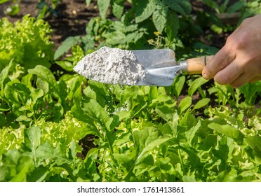 Gardener white sprinkle Diatomaceous earth( Kieselgur) powder for non-toxic organic insect repellent on salad in vegetable garden, dehydrating insects.