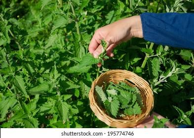 gardener woman girl hand pick balm lemon-balm mint herbal plant leaves in garden. Alternative medicine.