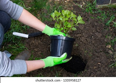 Gardener woman planting flower in the garden. Planting hydrangea flower in garden.