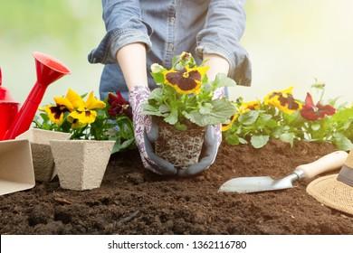 Gardener woman planting flower in the garden. Planting spring pansy flower in garden. Gardening concept