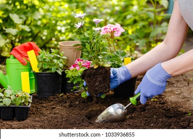 Gardener woman planting flowers in the garden at sunny morning