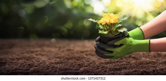 Gardener Woman Planting Flowers in the Summer Garden
