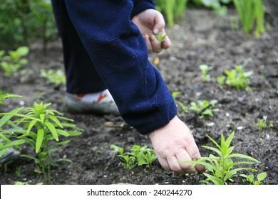 Gardener women clean plants from weeds.