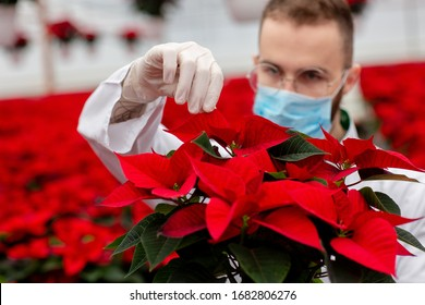 Gardener at work in a greenhouse during quarantine. A man in mask and gloves checks poinsettia plants