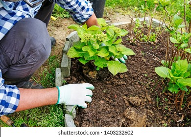 Gardener at work: How to plant a hortensia shrub in the ground. Man places the seedling in the ground. Step by step, tutorial.