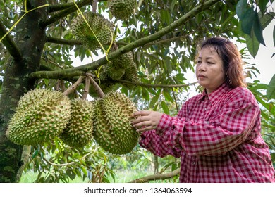 Gardeners are checking the durian on the durian tree that is ready to be sold.