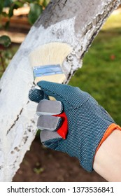Gardener's girl hand painting of an old cultivar apple trunk white to prevent the bark from insect and rodent damage, sunscald and crackling in the autumn garden