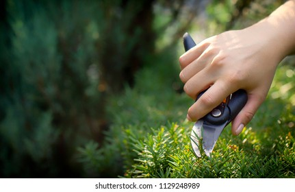 The gardener's hand cuts the unnecessary twig of the yew with a secateur, close up