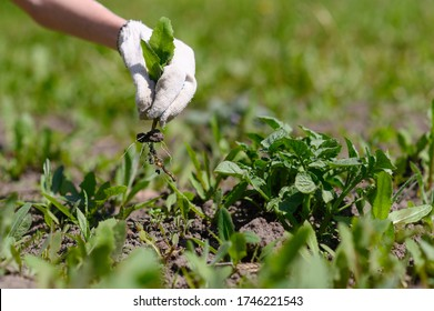 Gardener's hand in a glove holds a weed over the garden
