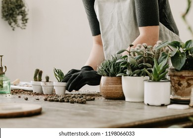 Gardeners hand planting cacti and succulents in white pots on the wooden table. Concept of home gardener.