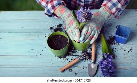 Die Gärtner legen Blumen in Topf mit Schmutz oder Boden.