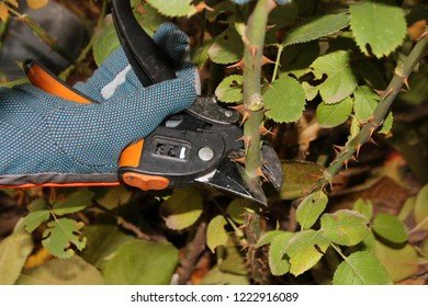 Gardener's hand pruning of a cultivar rose (Rosa sp.) with garden secateurs in the autumn rosary