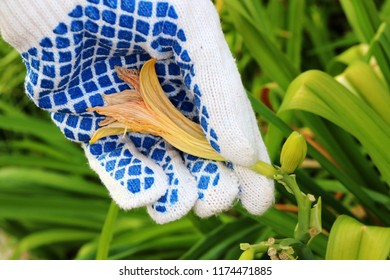 Gardener's hand removing (deadheading) of a faded flower of a cultivar daylily (Hemerocallis sp.) in the autumn garden