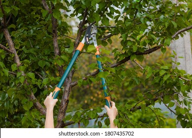 The gardener's hands are cut off with special pruning shears, fruit trees in the garden. Plant care, tree pruning.