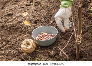 Gardener's hands plant winter garlic in the garden