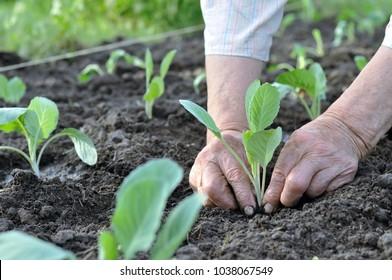 gardener's hands planting a cabbage seedling in the vegetable garden