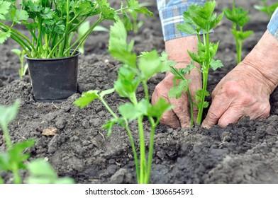 gardener's hands planting a celery seedling in the vegetable garden, selective focus