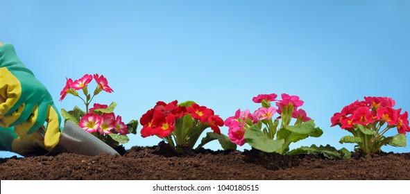 Gardeners hands planting flower in garden